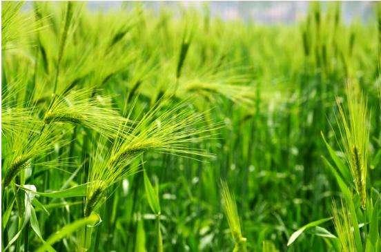 使用肥料的小麦